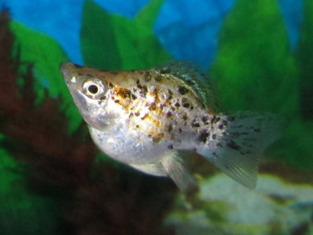 Freshwater aquarium fish mating - Balloon Molly