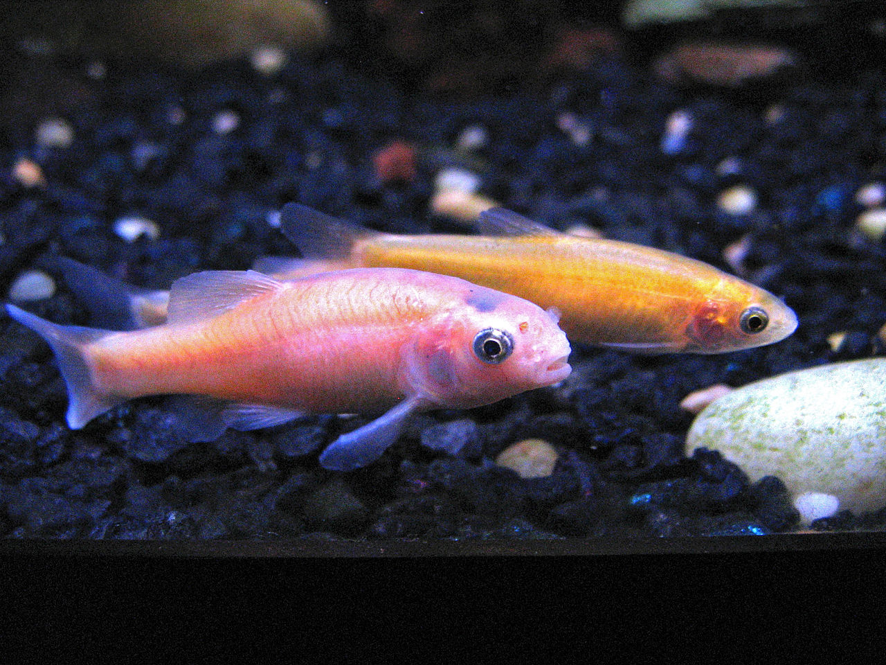 Fish for coldwater aquarium - Rosy Red Minnows