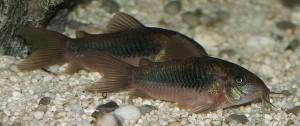 bronze corydoras catfish