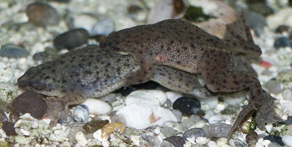 How to Care for African Dwarf Frogs How to Care for African Dwarf Frogs new pictures