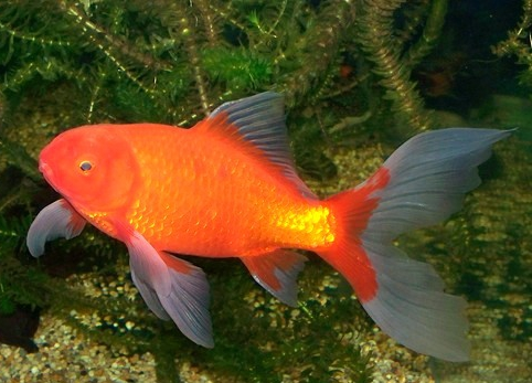 Comet goldfish the care feeding and breeding of comet for Types of white fish to eat