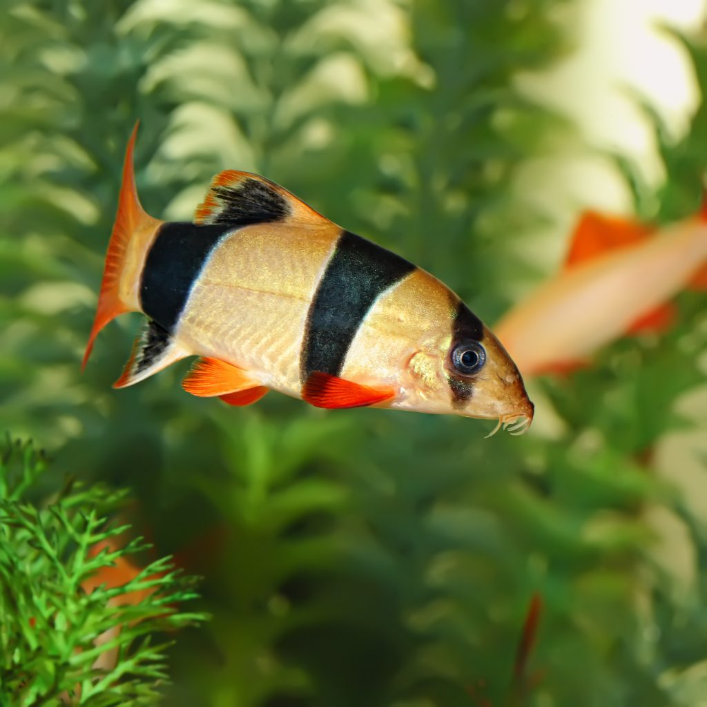 Loaches fish