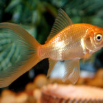 Comet Goldfish – The Care, Feeding and Breeding of Comet Goldfish
