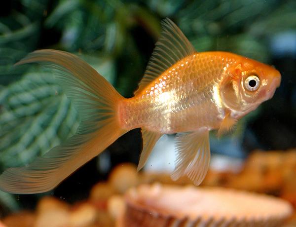 Comet Goldfish The Care Feeding And Breeding Of Comet Goldfish Aquarium Tidings