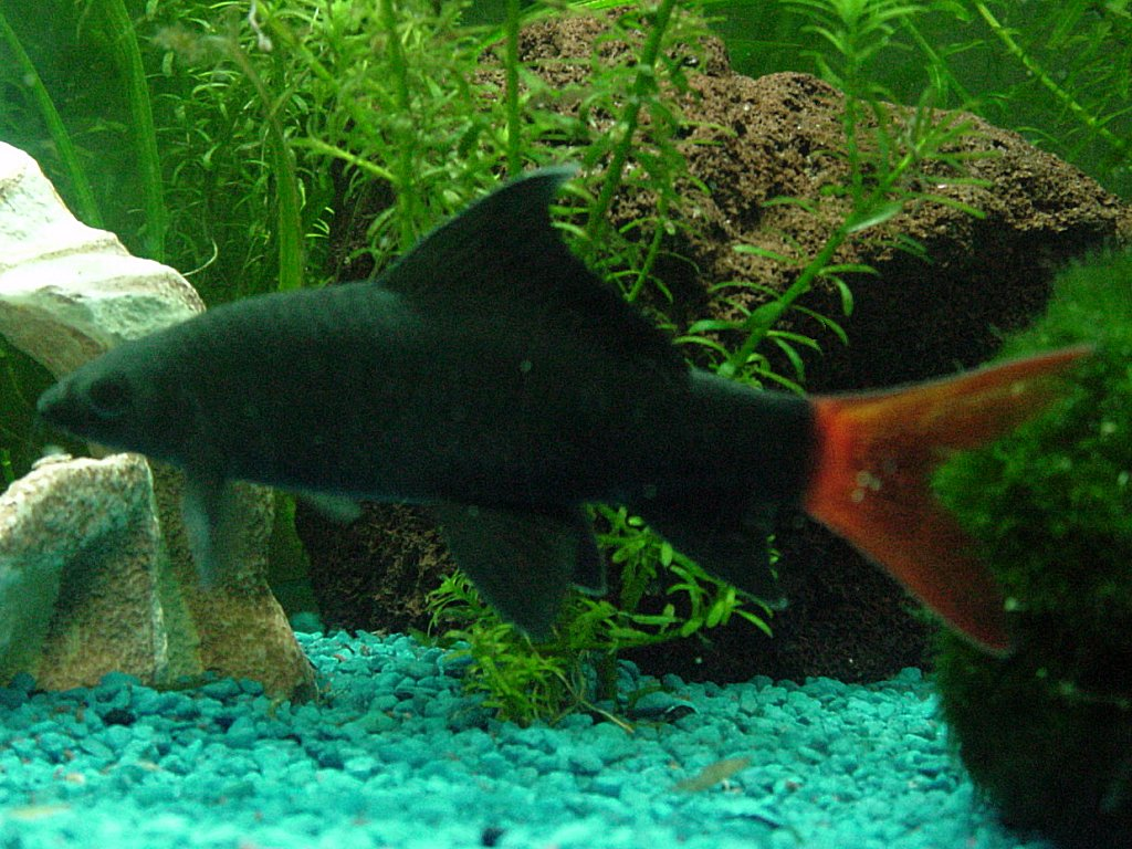 Red tail shark red tailed black shark the care for Shark tail fish