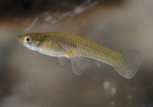 Mosquitofish the care feeding and breeding of for Mosquito fish for sale