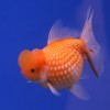 The Best Tank Mates for Goldfish