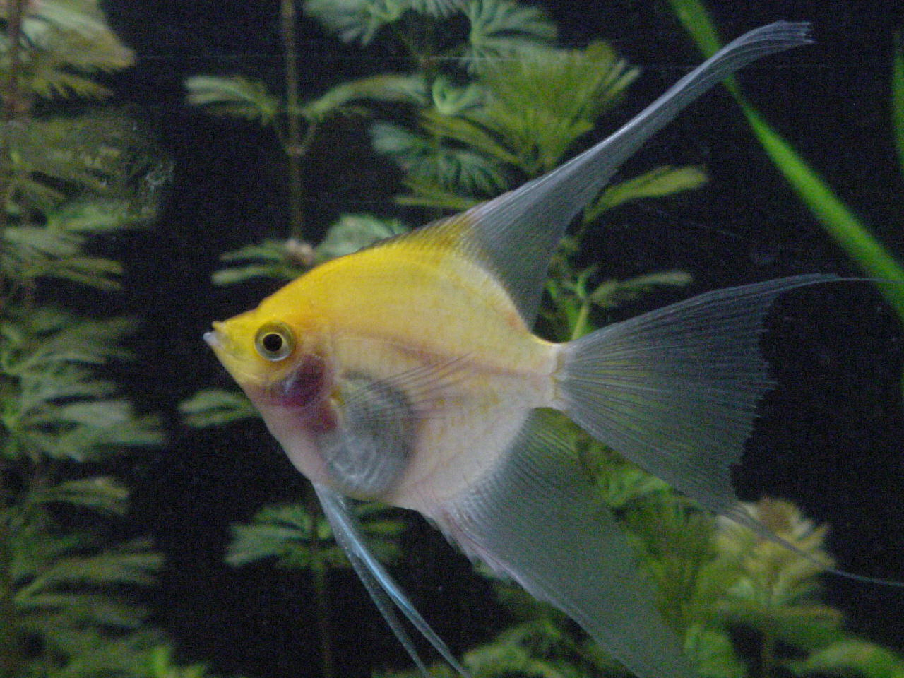 Freshwater aquarium fish silver with red fins - Angelfish