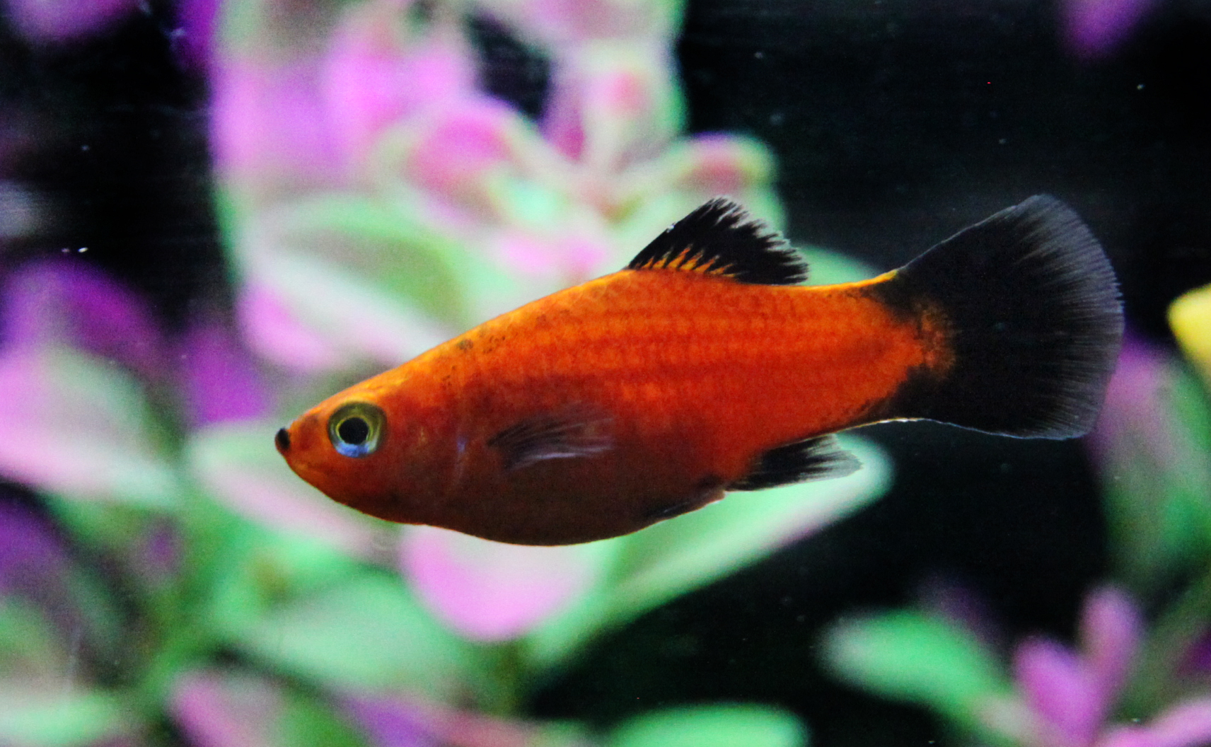 Freshwater aquarium fish mating - Platy Fish