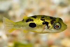 dwarf puffer fish