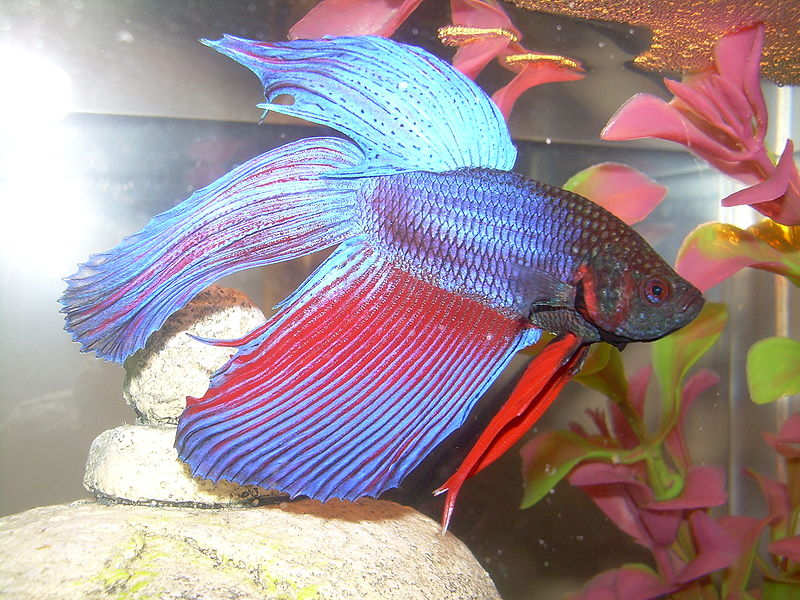 Colorful Freshwater Fish For Beginners Aquarium Tidings