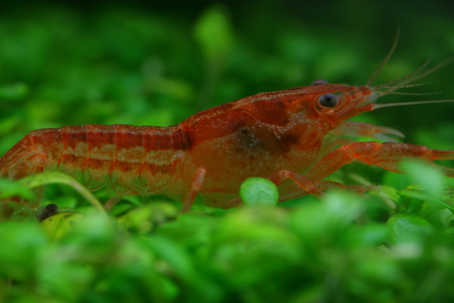 ... Dwarf Crayfish - How to Care for, Feed and Breed Dwarf Crayfish
