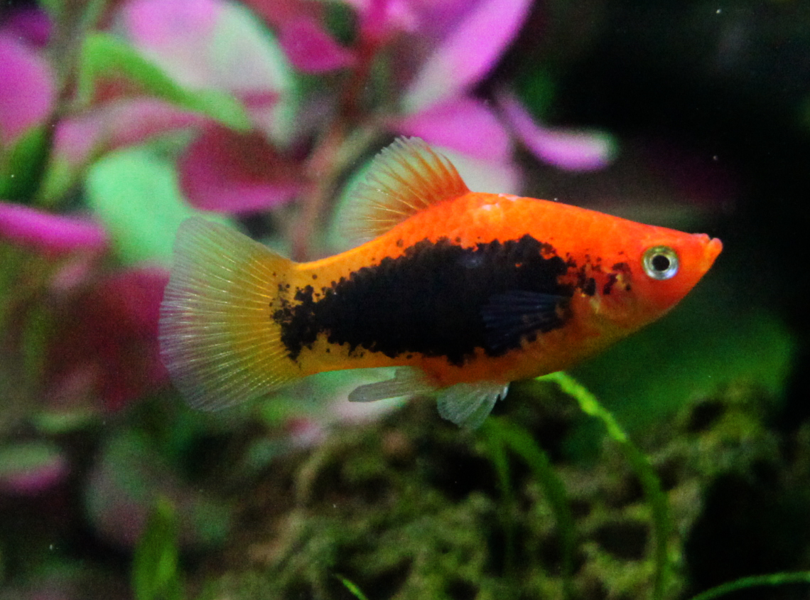 Very colorful freshwater aquarium fish - Platy