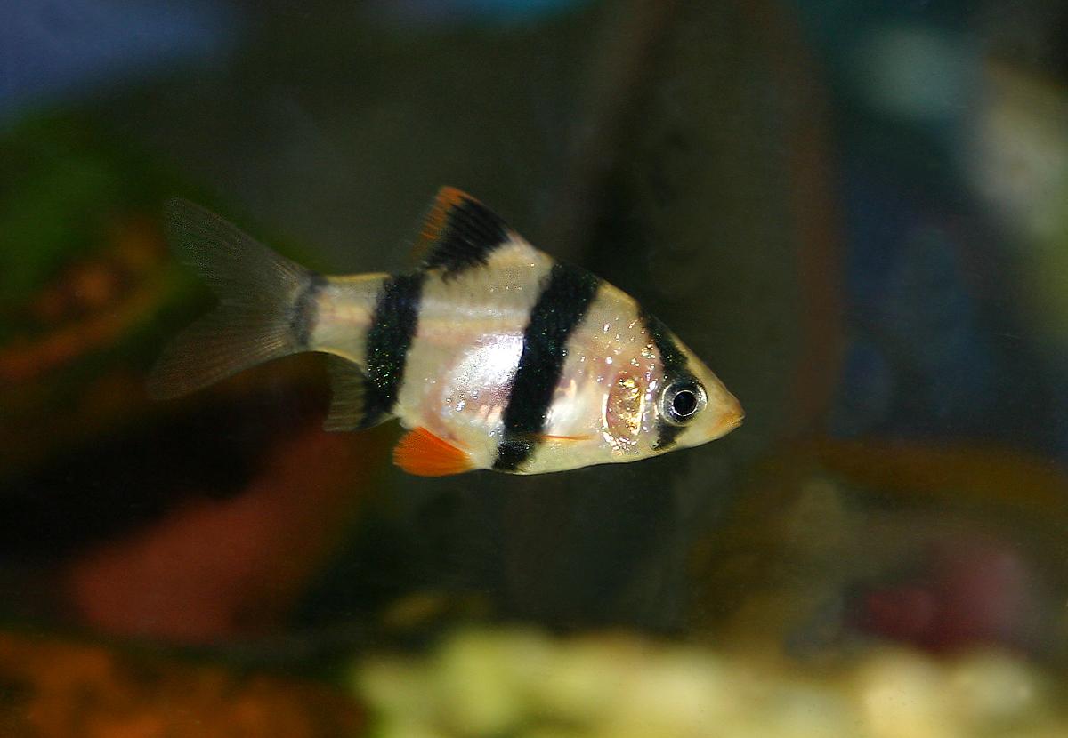 Freshwater aquarium fish easy care - Tiger Barb