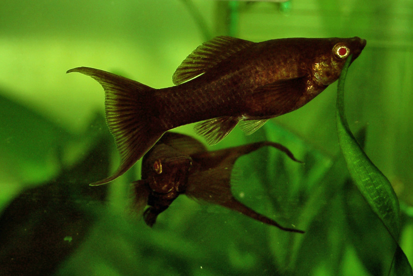 Black molly the care feeding and breeding of black for Black molly fish
