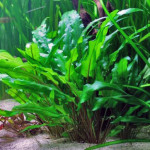Cryptocoryne Wendtii – How to Grow and Care for Cryptocoryne Wendtii
