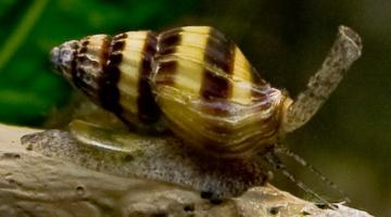 assassin snails