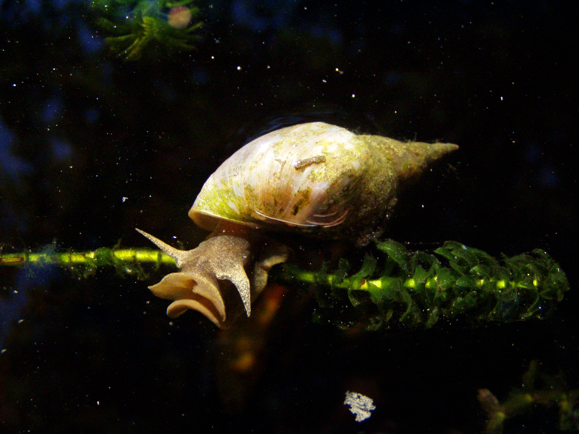 Identifying aquarium snails aquarium tidings for Garden pond snails