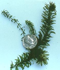 A comparison of Brazilian elodea and Canadian waterweed.