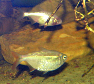 Mexican tetra and blind cave tetra variant.