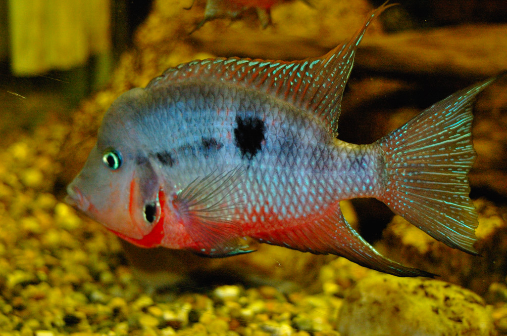 Firemouth cichlid the care feeding and breeding of for Cichlid fish food