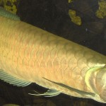Silver Arowana – The Care, Feeding and Breeding of Silver Arowanas