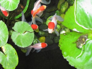 goldfish eating plants
