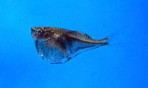 black-winged hatchetfish