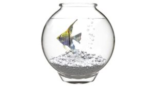 Yellow angelfish in a fishbowl