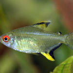 Lemon Tetra – The Care, Feeding, and Breeding of Lemon Tetras