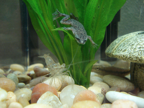 African dwarf frog the care feeding and breeding of for Large peaceful community fish