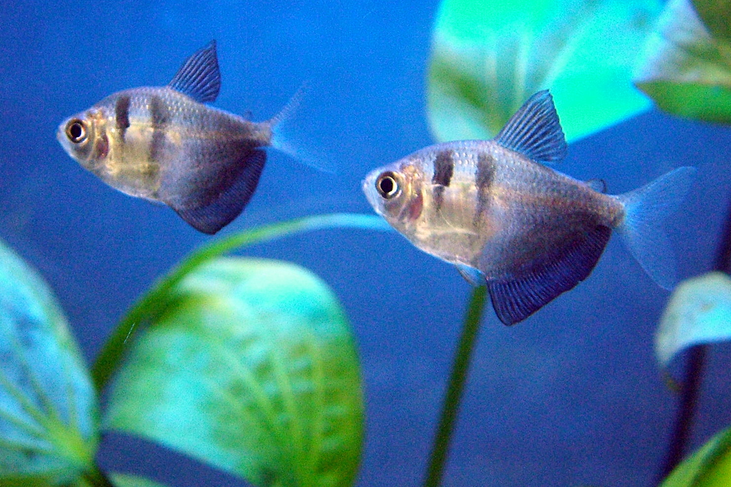 Black skirt tetra the care feeding an breeding of black for How long do fish stay pregnant