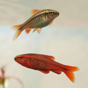 Male and Female Cherry Barbs