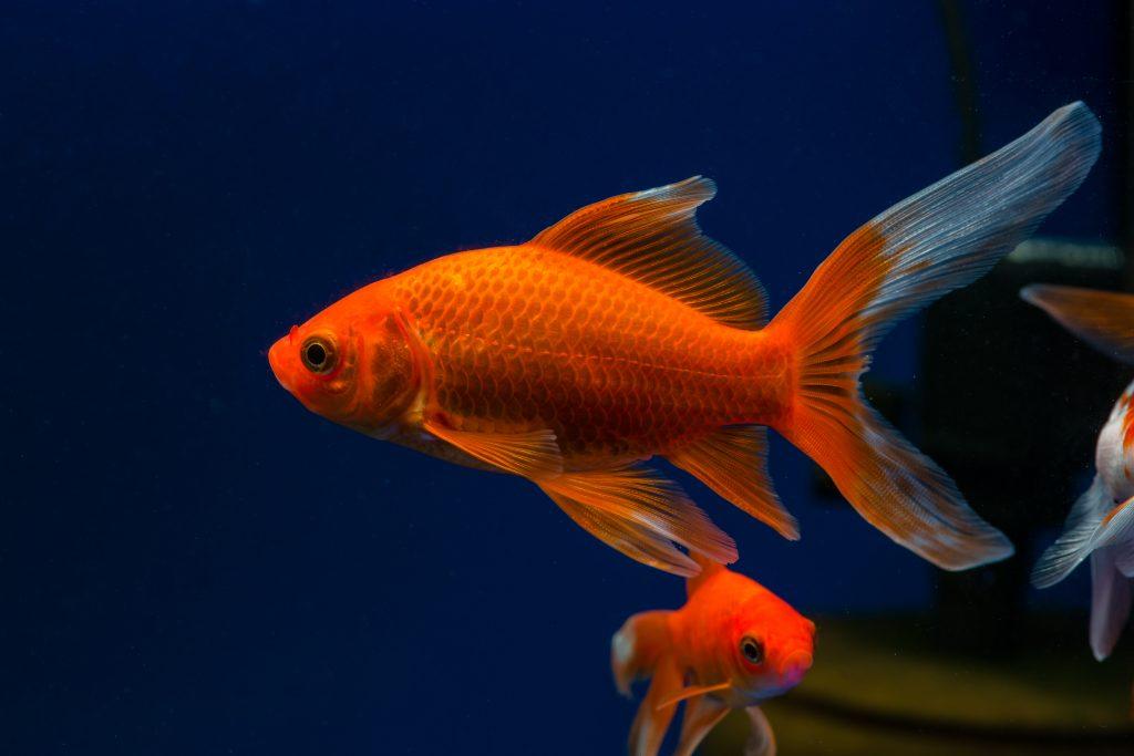 Choosing live plants for goldfish aquariums aquarium tidings for Fish that can live with goldfish