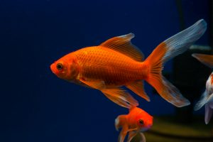 how to take care of comet goldfish