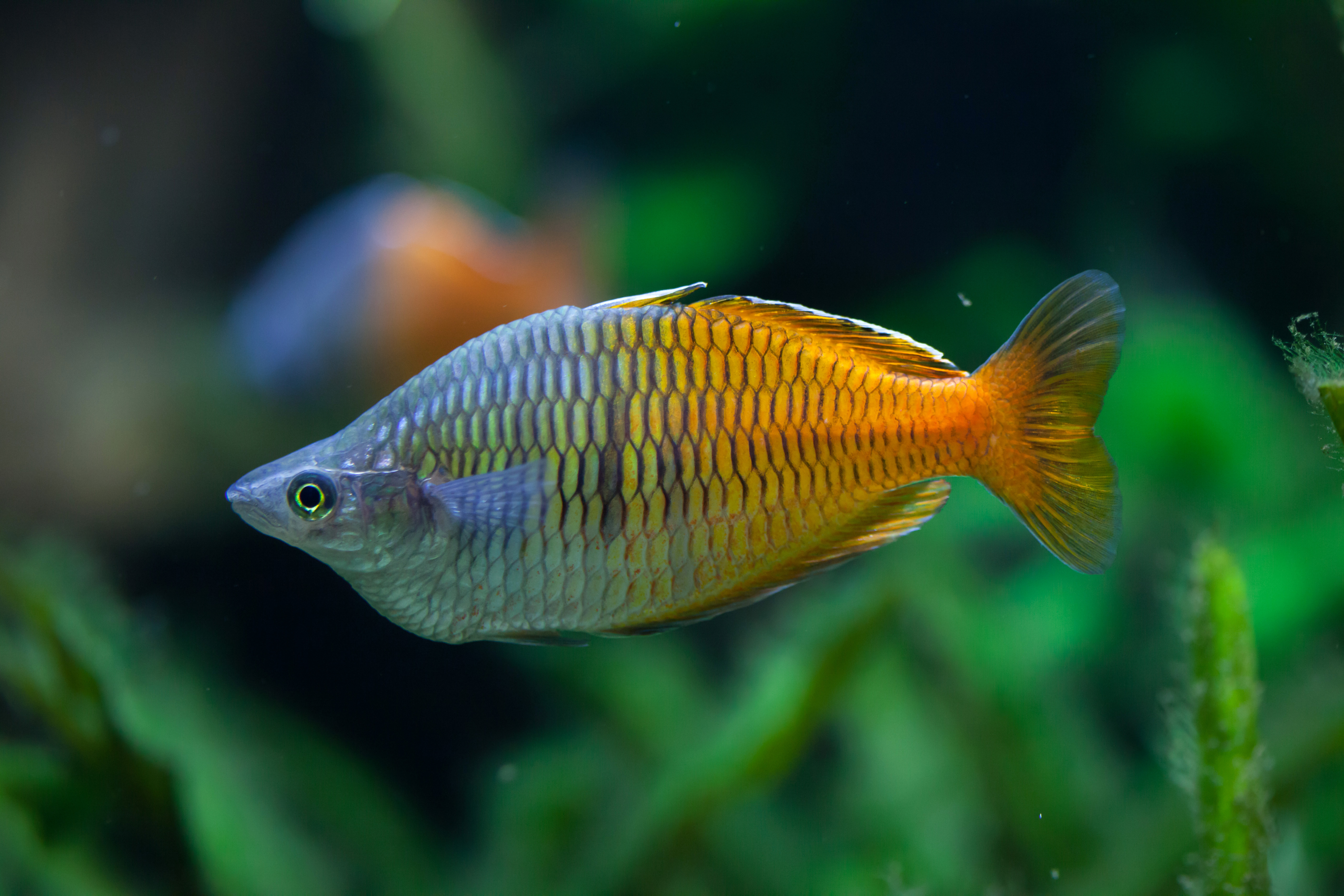 boeseman 39 s rainbowfish the care feeding and breeding of