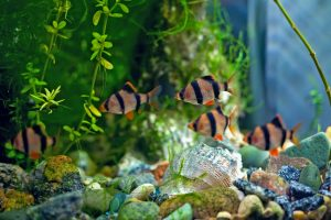 Tiger Barb Fish The Care Feeding And Breeding Of Tiger Barbs