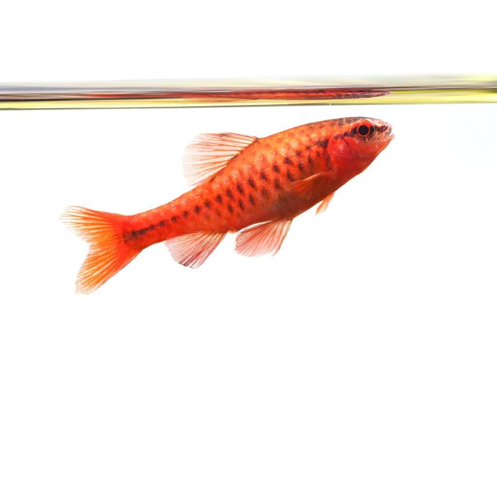 Cherry Barb Fish - The Care, Feeding and Breeding of Cherry Barbs ...