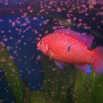 The Easiest Freshwater Fish to Breed in an Aquarium