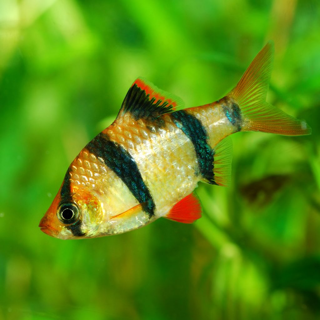 Tiger Barb Fish - The Care, Feeding and Breeding of Tiger Barbs ...