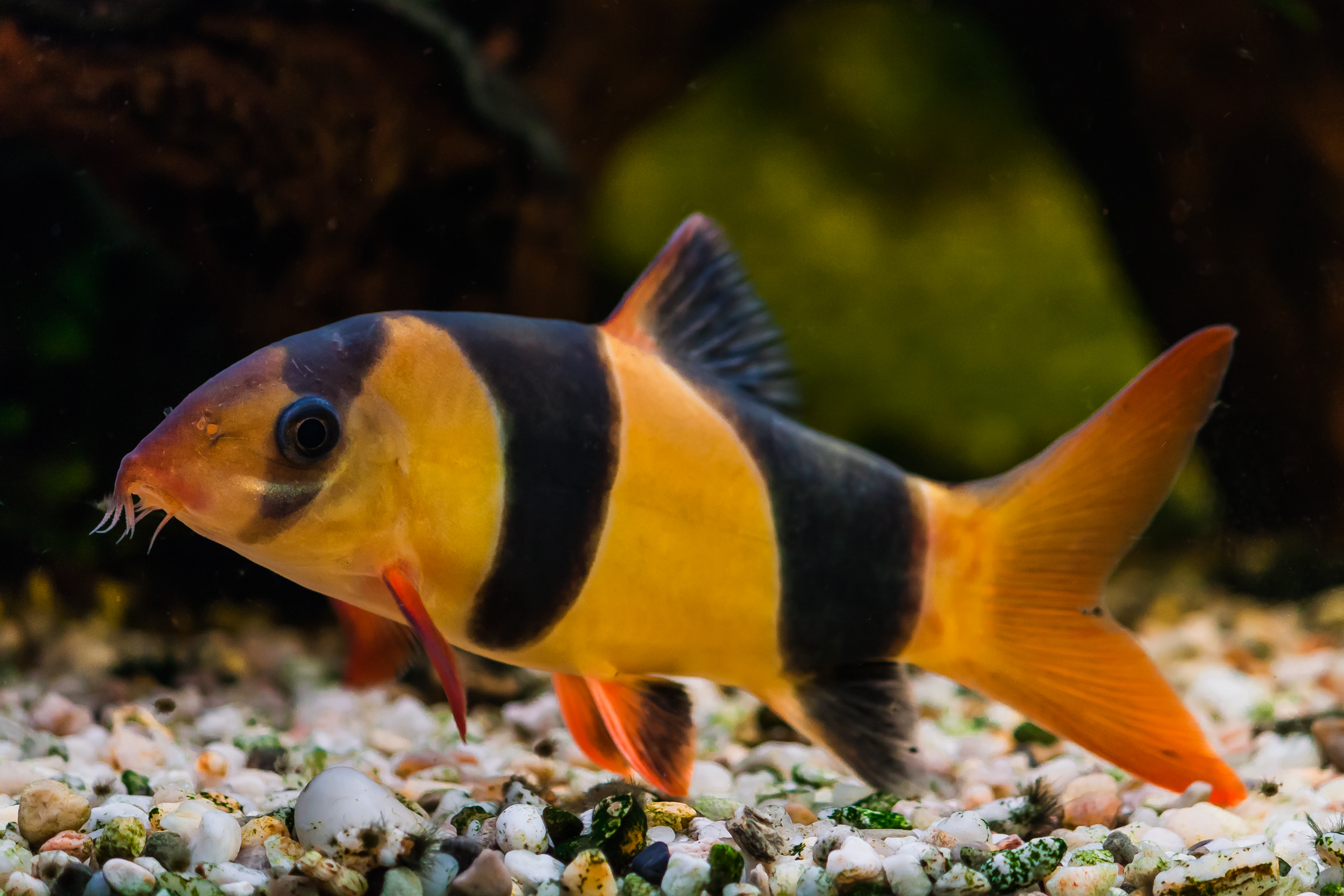 Clown loach the care feeding and breeding of clown for Freshwater fish to eat