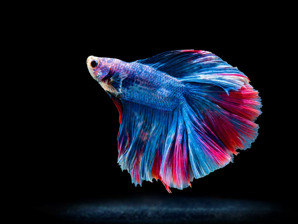 Colorful freshwater fish for beginners aquarium tidings for Betta fish feeder