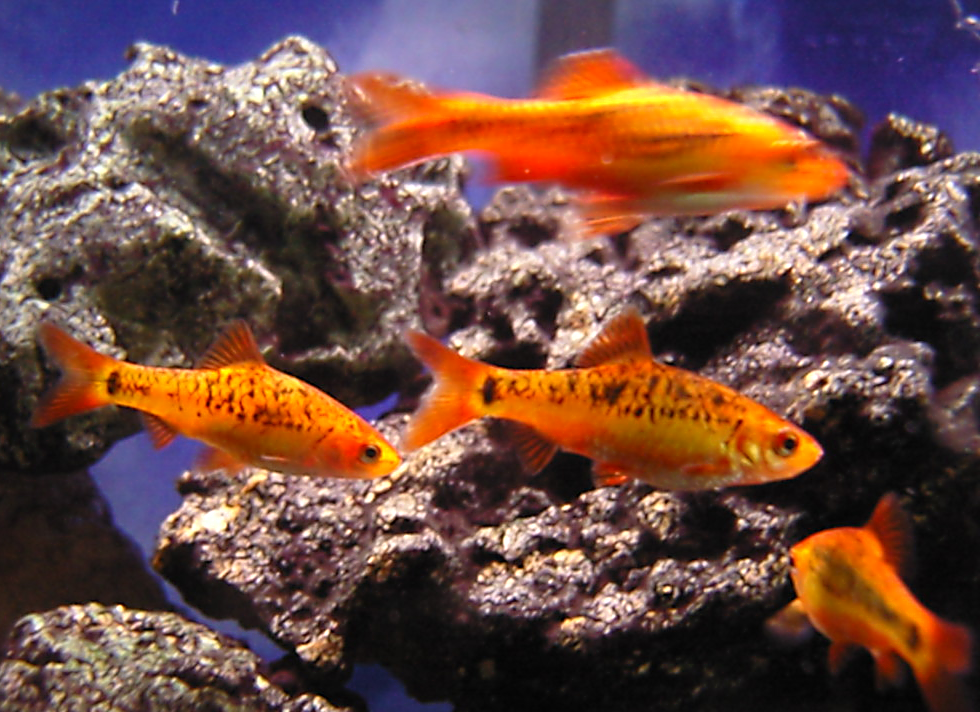 Gold barb green barb the care feeding and breeding of for Gold barb fish
