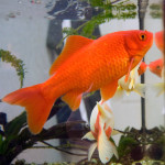 All About Goldfish – How to Care for a Goldfish Fish at Home