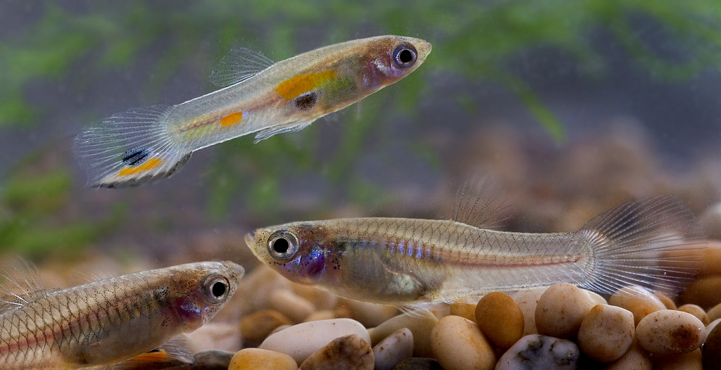 Guppy fish the care feeding and breeding of guppies for How long is a guppy fish pregnant