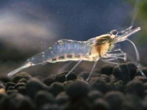 ghost-shrimp
