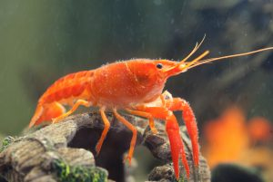 Mexican Dwarf Crayfish - How to Care for, Feed and Breed Dwarf