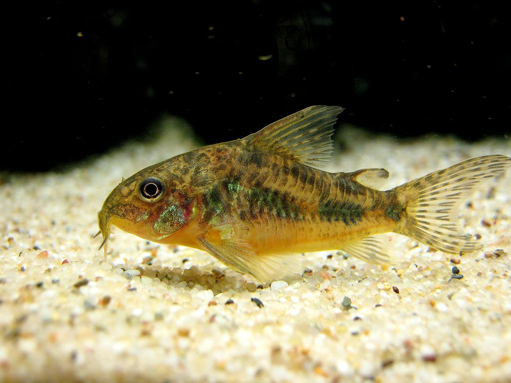 Peppered cory the care feeding and breeding of peppered for Bottom feeders fish