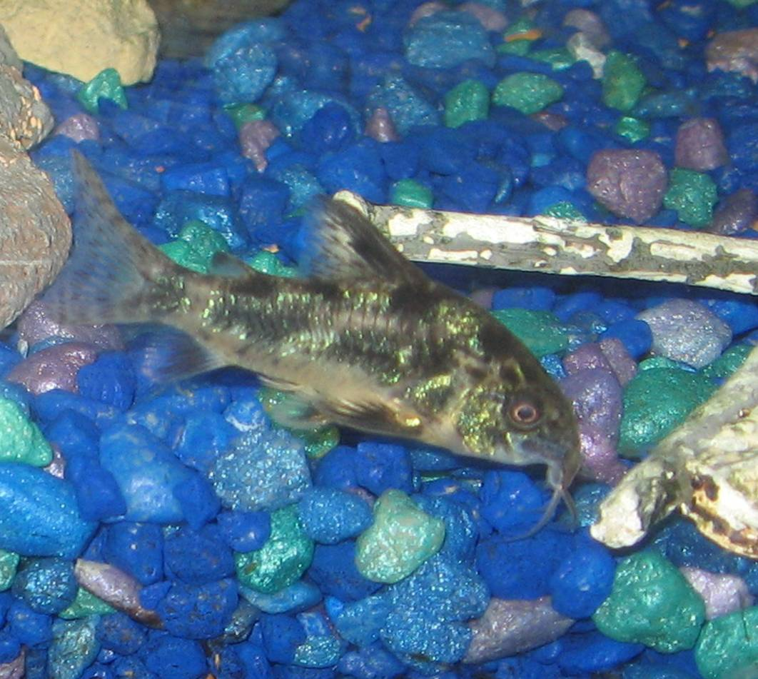 Peppered Cory The Care Feeding And Breeding Of Peppered
