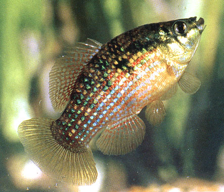 American flagfish the care feeding and breeding of for Best florida fish to eat